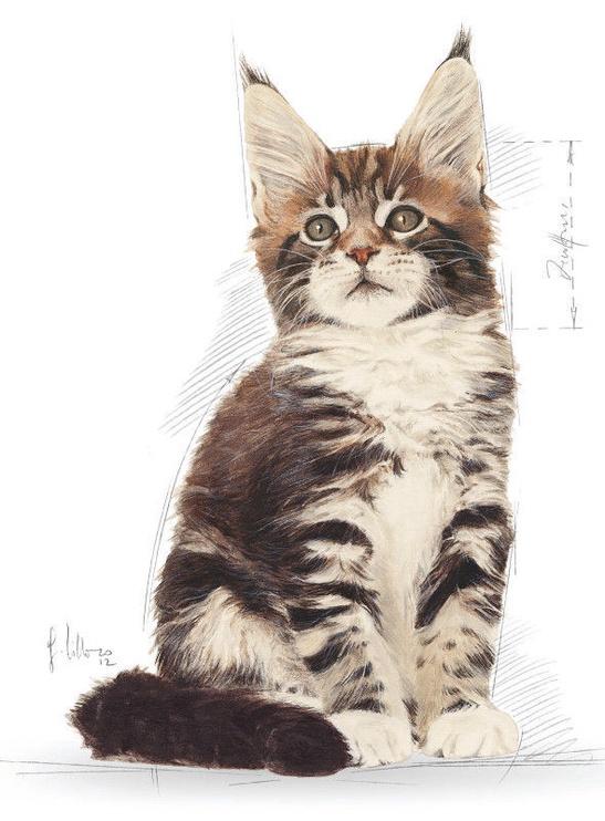 Royal Canin FBN Kitten Maine Coon 4kg