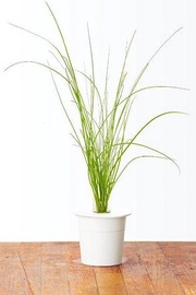 Click & Grow Smart Home Chives Refill 3-Pack