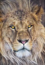 FOTOTAPEET 1-619 LION NG 127X184CM