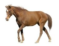 Hobustele